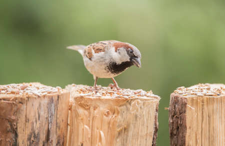 passer by: Sparrow, Passer domesticus, perched on a tree trunk, eating Stock Photo