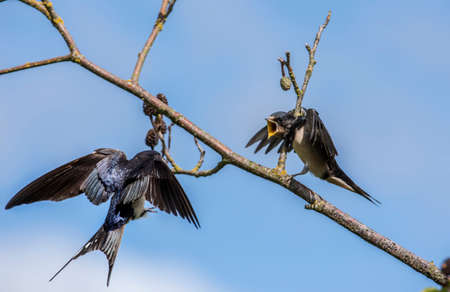 hirundo rustica: Hungry juvenile Swallow, Hirundo rustica, on a branch waiting to be fed