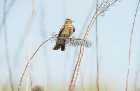 arvensis: Skylark, Alauda arvensis, perched on a reed Stock Photo