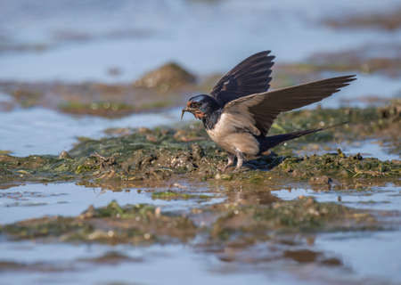 building material: Swallow, Hirundo rustica, collecting nest building material on the beach
