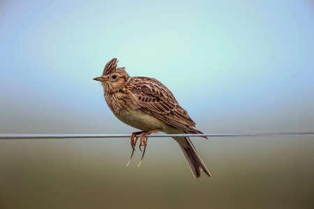 arvensis: Skylark, Alauda arvensis, perched on a wire
