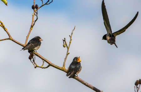 juveniles: Swallow, Hirundo rustica, juveniles on a branch being fed