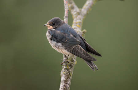 perched: Swallow, Hirundo rustica, perched on a branch