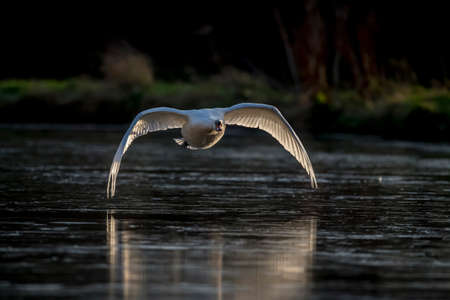 across: Mute swan, Cygnus olor, flying across a pond