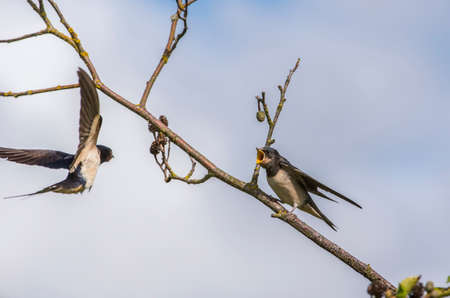hirundo rustica: Swallow, Hirundo rustica, juvenile on a branch waiting to be fed Stock Photo