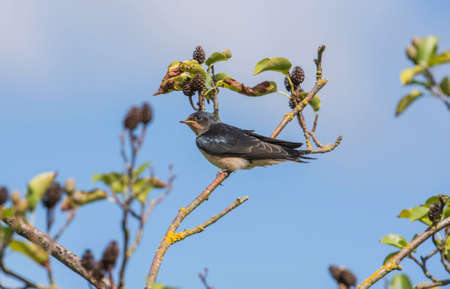 hirundo rustica: A Swallow, Hirundo rustica, perched on the branch of a tree, with a blue sky background Stock Photo