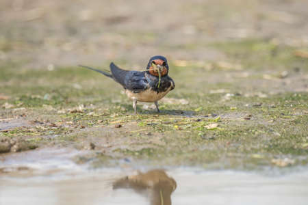 collecting: Swallow, Hirundo rustica, collecting nest building material on the beach