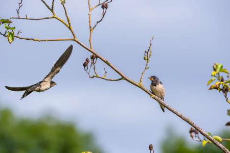 hirundo rustica: An adult Swallow, Hirundo rustica, flying to feed a juvenile Swallow