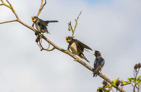 juveniles: Swallow, Hirundo rustica, juveniles on a branch waiting to be fed