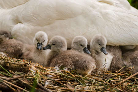 cygnus olor: Mute swan, Cygnus olor, Cygnets on the nest Stock Photo