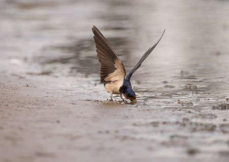hirundo rustica: Swallow, Hirundo rustica, collecting nest building material on the beach