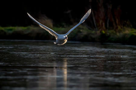 olor: Mute swan, Cygnus olor, flying across a pond