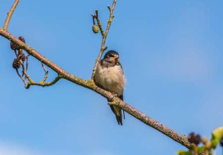 hirundo rustica: Swallow, Hirundo rustica, on a branch, with a blue sky background Stock Photo