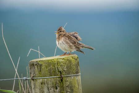 arvensis: Skylark, Alauda arvensis, perched on a post