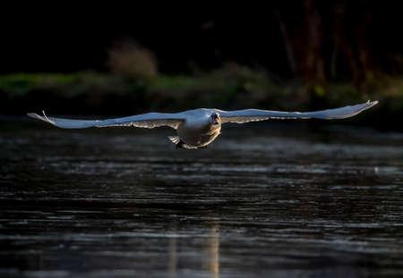 cygnus olor: Mute swan, Cygnus olor, flying across a pond