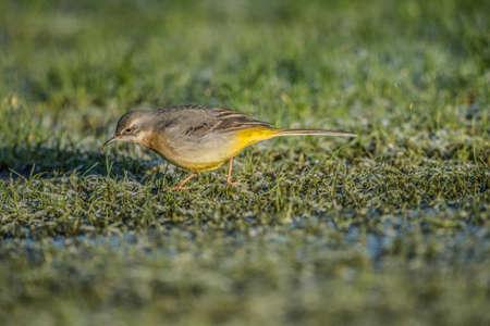 motacilla: Grey Wagtail, Motacilla cinerea, standing on grass looking for food