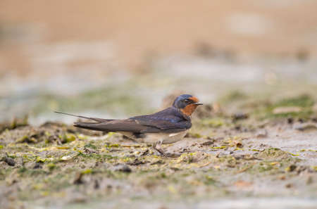 Swallow, Hirundo rustica, collecting nest building material on the beach