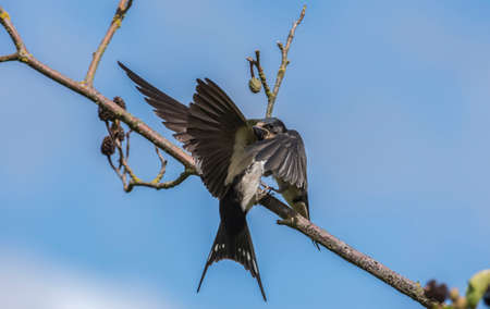 juvenile: Swallow, Hirundo rustica, juvenile on a branch being fed