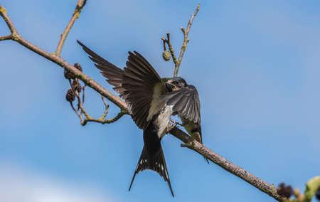 hirundo rustica: Swallow, Hirundo rustica, juvenile on a branch being fed