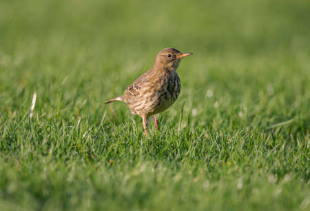 thrush: Song thrush, Turdus philomelos, on the grass