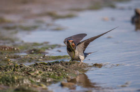 hirundo rustica: Swallow, Hirundo rustica, collecting nest building material on the beach