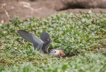 burrow: Puffin, Fratercula arctica, sitting in its burrow with its wings open Stock Photo