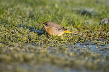 froze: Grey Wagtail, Motacilla cinerea, sitting on grass looking for food