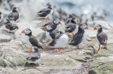 puffins: A group of Puffins, Fratercula artica, on a rock