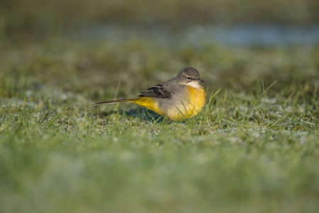 motacilla: Gris Lavandera, Motacilla cinerea, de pie en la hierba en busca de alimentos