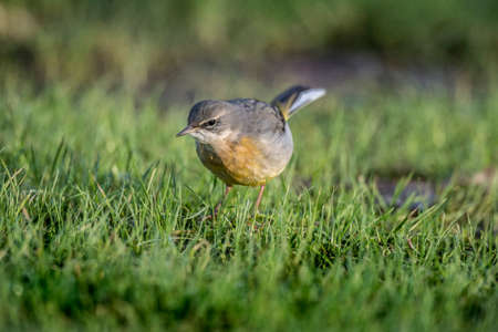cinerea: Grey Wagtail, Motacilla cinerea, standing on grass looking for food