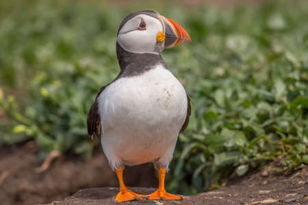 arctica: Puffin, Fratercula arctica, standing in front of its its burrow