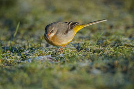 motacilla: Gris Lavandera, Motacilla cinerea, de pie sobre la hierba twitteando