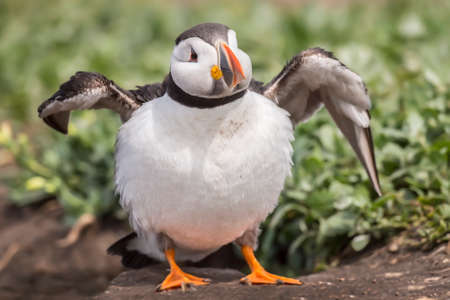 fratercula: Puffin, Fratercula arctica, standing puffed out with open wings