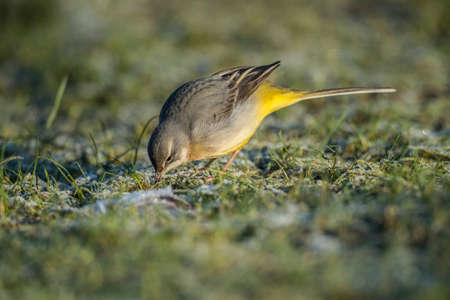 motacilla: Grey Wagtail, Motacilla cinerea, standing on grass eating