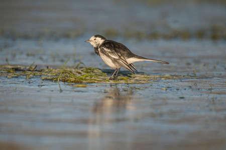 srokaty: Pied wagtail, Motacilla alba preening itself on the ice Zdjęcie Seryjne