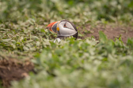 burrow: Puffin, Fratercula arctica, head popping out of its burrow
