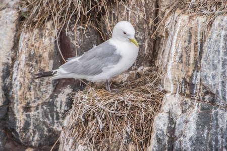 cliff edge: Kittiwake, Rissa, standing on its nest on the cliff edge Stock Photo