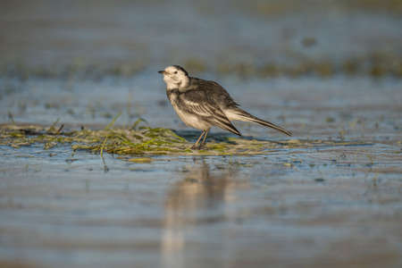 motacilla: Pied wagtail, Motacilla alba preening itself on the ice Stock Photo