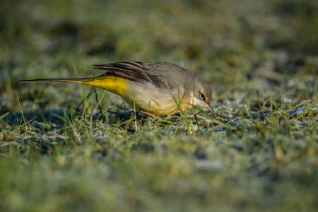 froze: Grey Wagtail, Motacilla cinerea, standing on grass looking for food