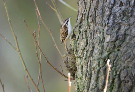 familiaris: Treecreeper, Certhia familiaris, perched on a tree trunk