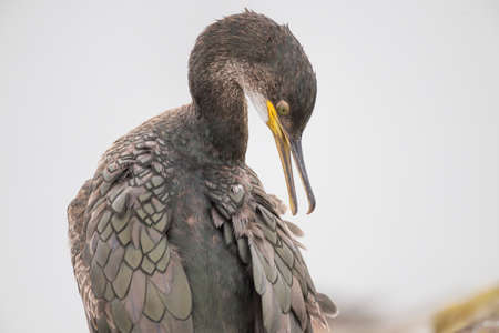 phalacrocoracidae: Cormorant, Phalacrocoracidae, grooming itself, close up Stock Photo