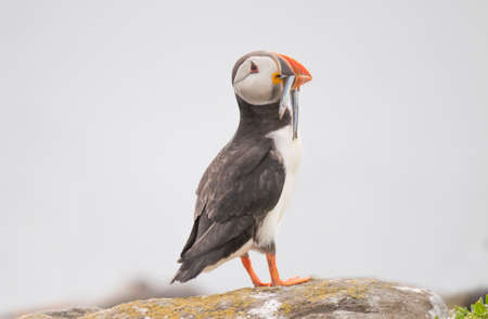 fratercula: Puffin, Fratercula arctica, standing on a cliff edge with a beak full of Sand eels