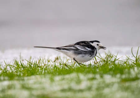 tweeting: Pied wagtail, Motacilla alba standing on the icy ground looking for food, tweeting