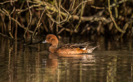 anas: Wigeon, Anas penelope, swimming on a pond Stock Photo