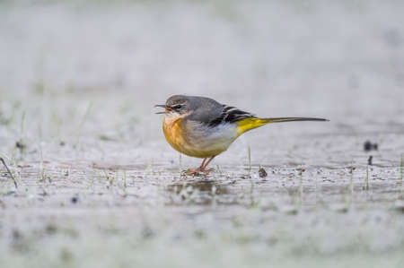 tweeting: Grey Wagtail, Motacilla cinerea, standing on ice tweeting