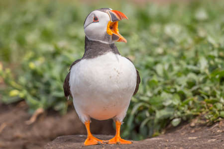 fratercula: Puffin, Fratercula arctica, standing, squawking near its burrow
