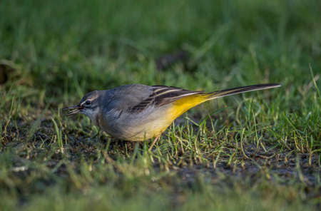 cinerea: Grey Wagtail, Motacilla cinerea, standing on grass eating food
