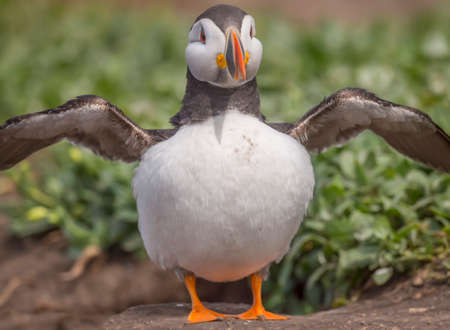 burrow: Puffin, Fratercula arctica, standing in front of its its burrow with wings open Stock Photo