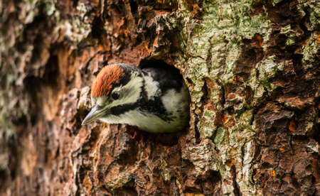 juveniles: Great spotted woodpecker