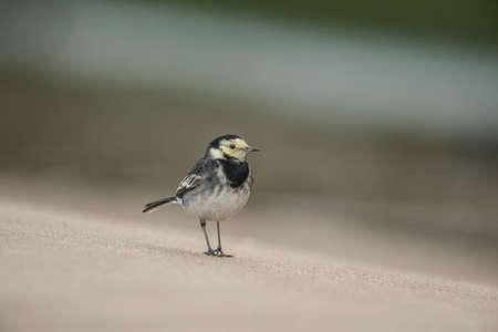 motacilla: Lavandera Pied, Motacilla alba de pie sobre la arena,